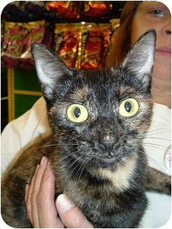 Domestic Shorthair Cat for adoption in Griffith, Indiana - Ghetta