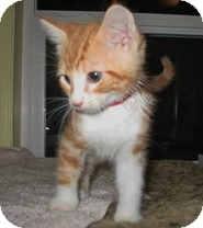 Domestic Shorthair Kitten for Sale in Shelton, Washington - Addison