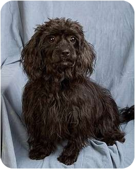 Shih Tzu/Poodle (Toy or Tea Cup) Mix Dog for Sale in Anna, Illinois - SPRITZIE