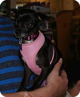 Chihuahua Mix Dog for Sale in Yuba City, California - Annabelle