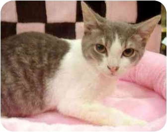 Domestic Shorthair Kitten for adoption in Dallas, Texas - Sniper