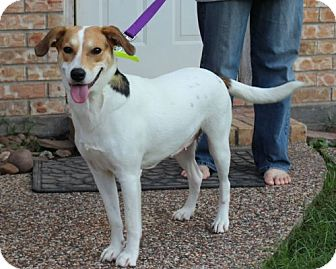 Labrador Retriever/Jack Russell Terrier Mix Dog for Sale in Porter, Texas - Sugar