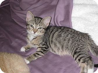 Domestic Shorthair Kitten for Sale in Speonk, New York - Heather