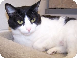 Domestic Shorthair Cat for adoption in Colorado Springs, Colorado - Princess