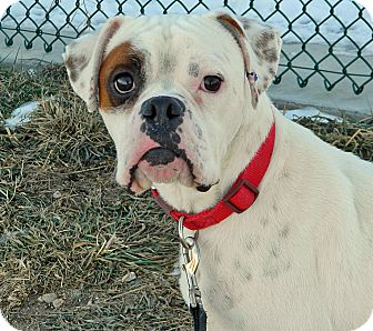 Boxer Mix Dog for Sale in Cheyenne, Wyoming - Petey