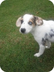 Australian Shepherd/Beagle Mix Puppy for Sale in Marlton, New Jersey - Chloe