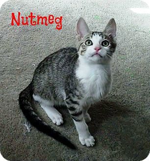 Domestic Shorthair Kitten for Sale in Simi Valley, California - Nutmeg