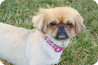 Pekingese Dog for Sale in London, Kentucky - Mona