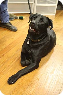 Labrador Retriever Mix Dog for Sale in Homewood, Alabama - Hershey