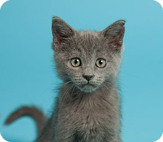 Domestic Shorthair Kitten for Sale in St. Louis, Missouri - Dash