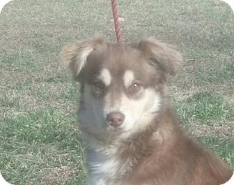 Australian Shepherd Mix Puppy for Sale in Spring Valley, New York - Banjo