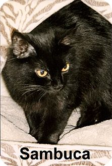 Domestic Mediumhair Cat for adoption in Medway, Massachusetts - Sambuca
