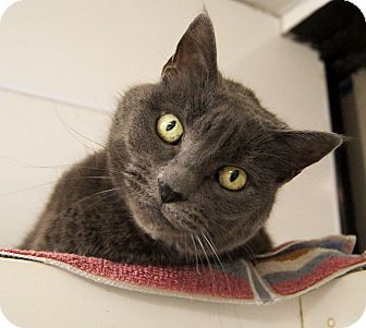 Russian Blue Cat for Sale in Colorado Springs, Colorado - Lanah