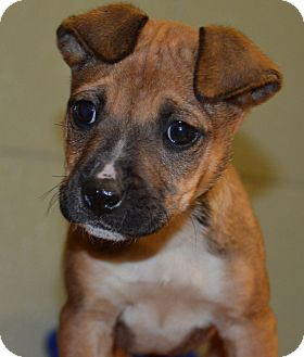 Boxer/Shepherd (Unknown Type) Mix Puppy for Sale in Glastonbury, Connecticut - Pippy- meet me!