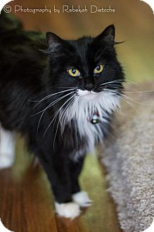 Domestic Longhair Cat for adoption in Grand Rapids, Michigan - Feather