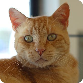 Domestic Shorthair Cat for adoption in El Cajon, California - Clinton