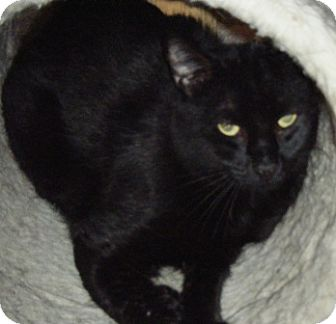 Domestic Shorthair Cat for adoption in Kensington, Maryland - Tison