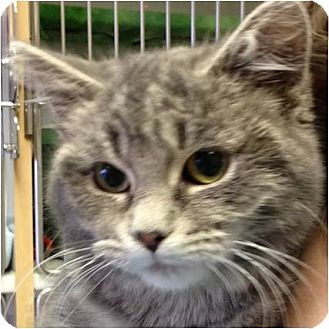 Domestic Shorthair Kitten for adoption in Green Bay, Wisconsin - Twinkle