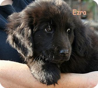 Newfoundland/Basset Hound Mix Puppy for Sale in Danbury, Connecticut - Ezra ADOPTION PENDING