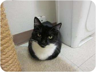 Domestic Shorthair Cat for adoption in Margate, Florida - Domino