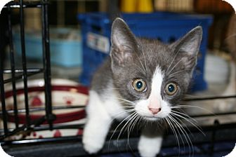 American Shorthair Kitten for Sale in Allentown, Pennsylvania - Elvis