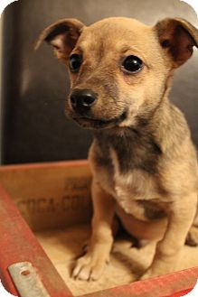 Chihuahua/Terrier (Unknown Type, Small) Mix Puppy for Sale in Hamburg, Pennsylvania - Diego