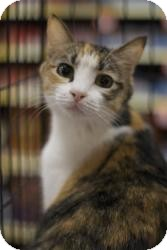 Domestic Shorthair Cat for Sale in Sacramento, California - Peanut