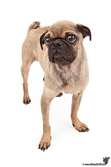Pug Dog for Sale in Chandler, Arizona - Benjamin