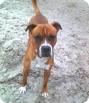 Boxer Mix Dog for adption in Porter, Texas - Sargent Pony