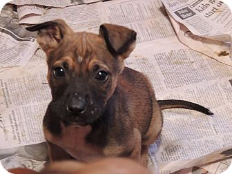 German Shepherd Dog/Boxer Mix Puppy for Sale in Kankakee, Illinois - Shep