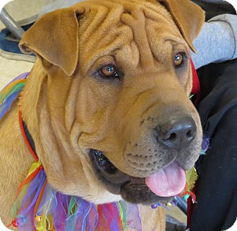 Shar Pei Mix Dog for Sale in Scottsdale, Arizona - Tiny