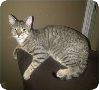 Domestic Shorthair Cat for adoption in Oakville, Ontario - Stryker
