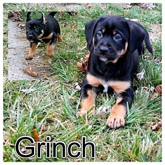 Rottweiler/German Shepherd Dog Mix Puppy for Sale in Westland, Michigan - Grinch