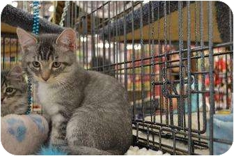 Domestic Mediumhair Kitten for adoption in Chino, California - Donnovan