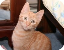 Domestic Shorthair Kitten for Sale in East Brunswick, New Jersey - Damon