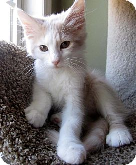 Domestic Mediumhair Cat for Sale in Apex, North Carolina - Malcom
