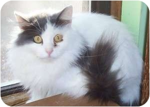 Turkish Van Cat for adoption in Andover, Kansas - Cecilia