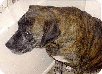 Boxer/Labrador Retriever Mix Dog for adption in Moulton, Alabama - Wendy