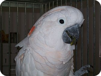 Cockatoo for Sale in Punta Gorda, Florida - Rocky