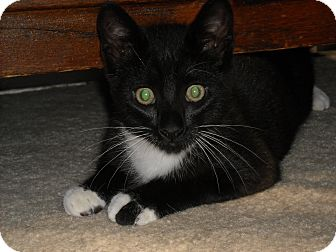 Domestic Shorthair Kitten for Sale in Arlington, Virginia - Leroy