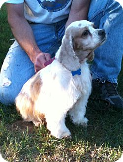 Cocker Spaniel Dog for adption in Spanaway, Washington - MISTI