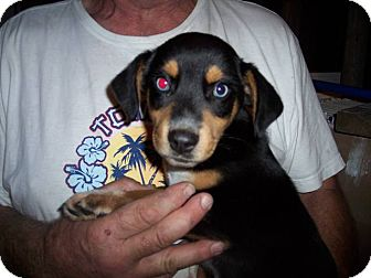 Beagle/Australian Shepherd Mix Puppy for Sale in Germantown, Maryland - Huey