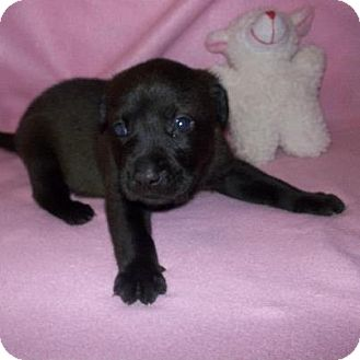 Labrador Retriever Mix Puppy for Sale in Shirley, New York - Brownie