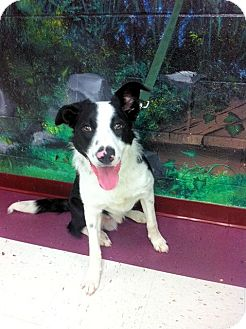 Border Collie Dog for Sale in Euless, Texas - Tailgate
