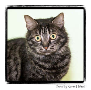 Domestic Shorthair Cat for Sale in Warren, Pennsylvania - Olive