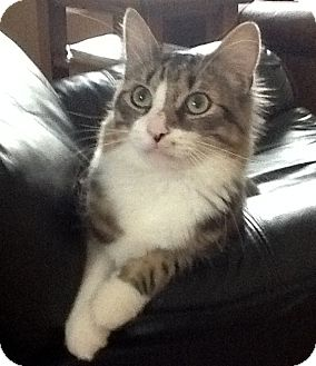 Maine Coon Cat for Sale in Troy, Michigan - Peter Piper