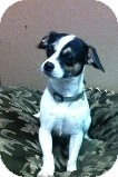 Pug/Chihuahua Mix Dog for Sale in Russellville, Kentucky - Stella