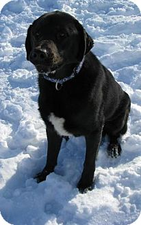 Labrador Retriever Mix Dog for adption in Lisbon, Ohio - Willie
