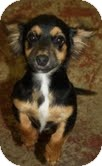 Dachshund/Chihuahua Mix Dog for Sale in Marietta, Georgia - Sydney