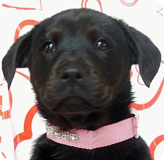 Labrador Retriever Mix Puppy for Sale in Thousand Oaks, California - Scarlette
